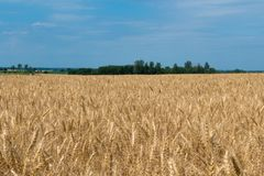 Krajobraz dojrzały pole uprawne z niebieskim niebem i whitespace dla tex fotografia royalty free