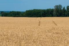 Krajobraz dojrzały pole uprawne z niebieskim niebem i whitespace dla tex obraz stock