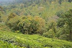 Krajobraz drzewa i herbaciane plantacje Obrazy Royalty Free