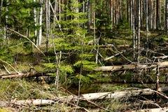 Krajobraz dziki bagno las Obrazy Stock