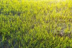 Krajobraz greenfield i ryż rozsady obrazy stock