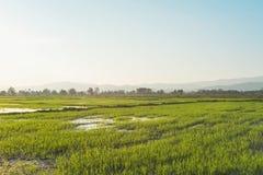 Krajobraz greenfield i ryż rozsady fotografia stock