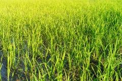 Krajobraz greenfield i ryż rozsady fotografia royalty free