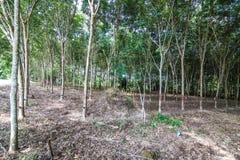 Krajobraz gumowi drzewa Fotografia Royalty Free