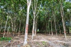 Krajobraz gumowi drzewa Obrazy Royalty Free