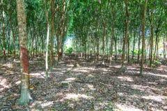 Krajobraz gumowi drzewa Zdjęcie Stock