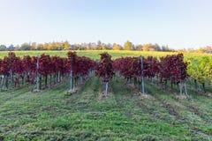 Krajobraz kolorowy winnica na pięknym jesień dniu zdjęcia stock