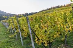 Krajobraz kolorowy winnica na pięknym jesień dniu obraz stock