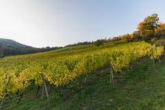 Krajobraz kolorowy winnica na pięknym jesień dniu zdjęcia royalty free