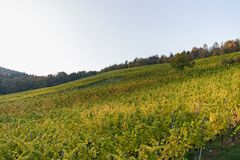 Krajobraz kolorowy winnica na pięknym jesień dniu obraz royalty free