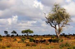 Krajobraz Kruger park narodowy afryce kanonkop słynnych góry do południowego malowniczego winnicę wiosna Fotografia Royalty Free