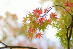 Krajobraz odmienianie koloru Japońscy liście klonowi z zamazanym tłem Fotografia Stock