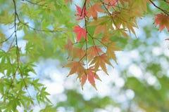 Krajobraz odmienianie koloru Japońscy liście klonowi z zamazanym tłem Zdjęcia Royalty Free
