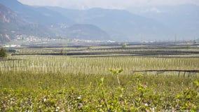 Krajobraz owocowe plantacje w Trentino Altowy Adige, Włochy Wiosna czas… wzrastał liście, naturalny tło zielony krajobraz zdjęcia stock