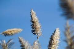 Krajobraz płochy trawa przeciw niebieskiemu niebu Fotografia Royalty Free