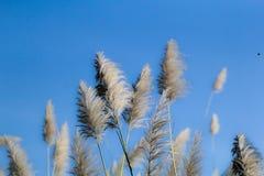 Krajobraz płochy trawa przeciw niebieskiemu niebu Obraz Stock
