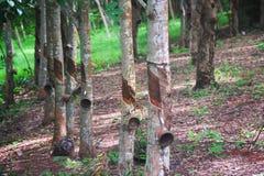 Krajobraz Para gumowy drzewo po stukać w plantacji obraz royalty free