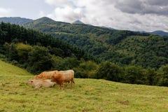 Krajobraz pays basque, krowy w obszarze trawiastym fotografia royalty free
