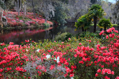 Południowy plantaci azalii ogród w kwiacie fotografia royalty free