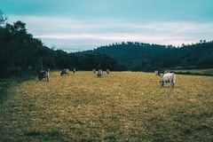 Krajobraz pole na chmurnym dniu z wiele krów jeść Fotografia Stock