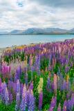 Krajobraz przy Jeziornym Tekapo łubinu polem w Nowa Zelandia Fotografia Stock