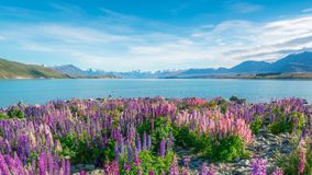 Krajobraz przy Jeziornym Tekapo łubinu polem w Nowa Zelandia Zdjęcia Stock