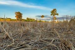 Krajobraz ryżu pole po żniwa przy jutrzenkowym czasem obraz stock