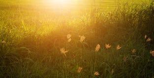 Krajobraz ryż trawy i pola kwiaty Fotografia Stock