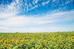Krajobraz słonecznika pole z pięknym niebieskim niebem Fotografia Stock