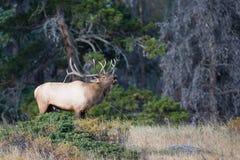 Krajobraz strzelający byka łoś bugling zdjęcie stock