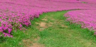 Krajobraz trawy droga przemian z Piękną Różową petunią kwitnie petuni hybrida w ogródzie W lecie z słonecznym dniem fotografia stock