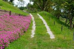 Krajobraz trawy droga przemian z Pi?kn? R??ow? petuni? kwitnie petuni hybrida w ogr?dzie W lecie z s?onecznym dniem zdjęcie royalty free