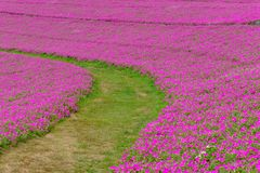 Krajobraz trawy droga przemian z Pi?kn? R??ow? petuni? kwitnie petuni hybrida w ogr?dzie W lecie z s?onecznym dniem fotografia stock