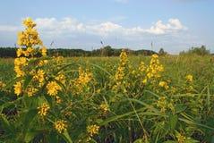 Krajobraz w łące z zieloną trawą i kolorem żółtym kwitnie Zdjęcie Royalty Free