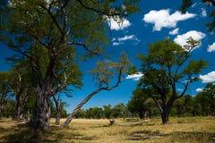 Krajobraz w Moremi GR Botswana - Okavango delta - Obrazy Stock