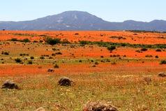 Krajobraz w namaqualand parku narodowym - kwitnąć czas afrykańska stokrotka Obrazy Stock