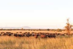 Krajobraz w sawannie Wielki stado Afrykańscy bizony w Serengeti Tanzania Obrazy Royalty Free