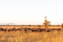 Krajobraz w sawannie Wielki stado bizony kmieć Tanzania Zdjęcia Stock