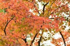 Krajobraz wibrujący barwioni Japońscy liście klonowi z zamazanym tłem Zdjęcie Stock