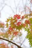 Krajobraz wibrujący barwioni Japońscy liście klonowi z zamazanym tłem Fotografia Stock
