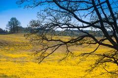 Krajobraz Wiosna, dąb rozgałęzia się przeciw tłu pole n Zdjęcia Stock