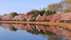 Krajobraz wokoło Pływowego basenu z kwitnąć czereśniowych drzew odbicie, washington dc, usa Fotografia Royalty Free