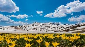 Krajobraz z żółtymi krokusów kwiatami Fotografia Stock