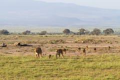 Krajobraz z dumą lwy Amboseli, Kenja Obrazy Stock