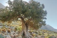Krajobraz z gnarled starym wiecznozielonym drzewem oliwnym na grka Kalymnos wyspie Obraz Stock
