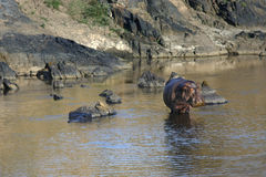 Krajobraz z hipopotamem pozuje stać w Masai Mara rzece Zdjęcie Royalty Free