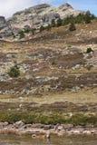 Krajobraz z hiszpańskim mastifa psa dopłynięciem w jeziorze Soria Zdjęcia Stock