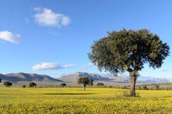 Krajobraz z holm dębami w wiośnie Zdjęcia Royalty Free