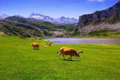 Krajobraz z jeziorem i krowami Zdjęcie Royalty Free