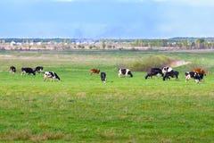 Krajobraz z krowami zdjęcia royalty free